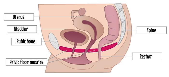 Diagram showing pelvic floor muscles